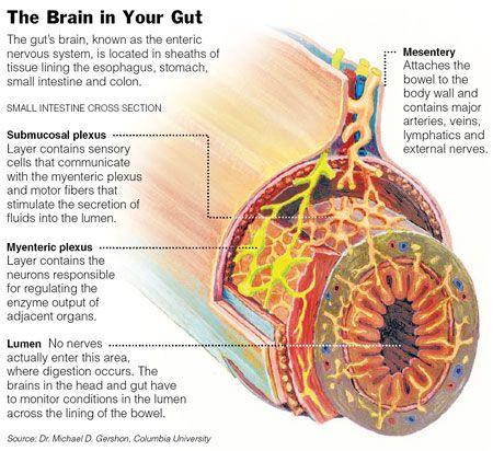 """O Cérebro no seu intestino: o sistema digestivo possui o seu próprio sistema nervoso, conhecido como sistema nervoso entérico. É um """"mini-cérebro"""", localizado em seu intestino, onde os neurotransmissores são liberados, o que pode retransmitir, amplificar e modular diferentes sinais entre células do corpo."""