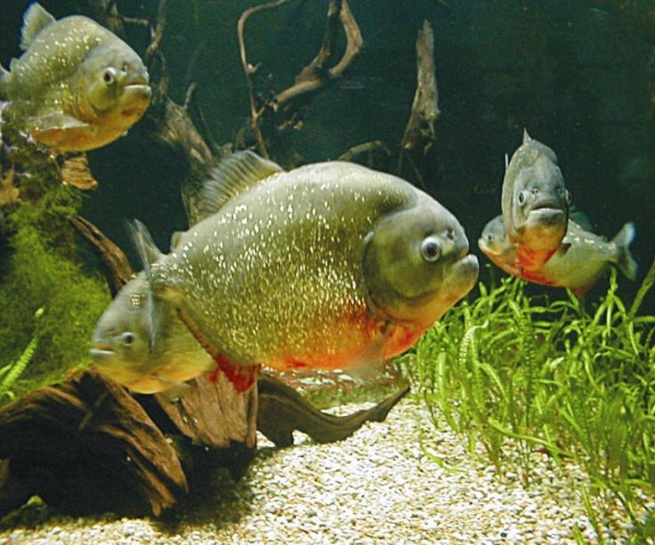 883 best fish characins images on pinterest fish for Piranha fish tank
