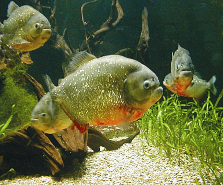 Top 25 ideas about piranhas on pinterest dubai fish for Fish types to eat