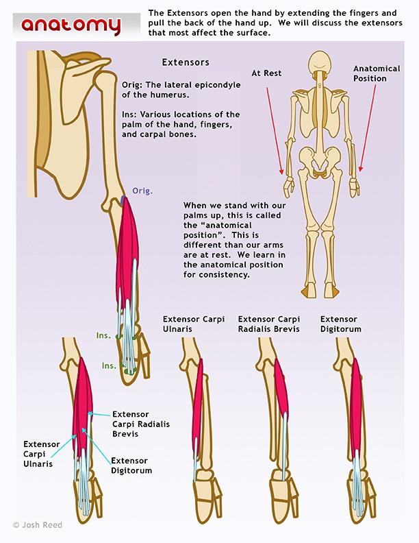 The 44 best human anatomy images on Pinterest | Human anatomy ...