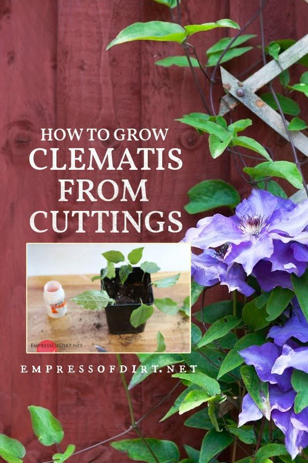 How To Grow Clematis From Cuttings Empress Of Dirt Clematis Clematis Plants Clematis Vine