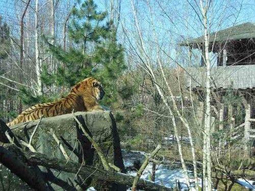 Siberian Tiger Facts For Kids - Siberian Tiger Habitat & Diet