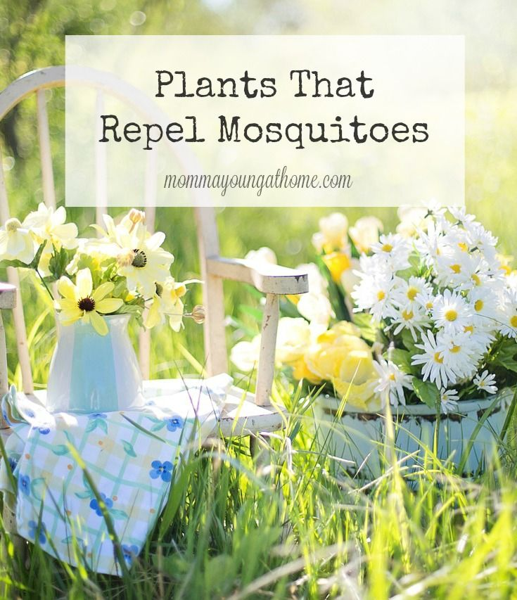 25 B Sta Plants That Repel Mosquitoes Id Erna P