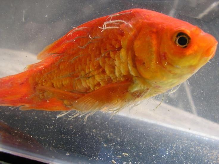 Baba en la piel Síntomas: notará que el pez que padezca esta enfermedad lucirá opaco. Su cuerpo se ve cubierto por una delgada capa de mucosa grisácea y blancuzca. Afecta también a las branquias. El pez frota su cuerpo contra rocas y plantas. Causas: la principal causa es descuido severo de las condiciones del agua. La consecuencia es la degradación de la mucosidad natural del pez. Queda entonces expuesto a parásitos como Chilodonella e Ichthyobodo.
