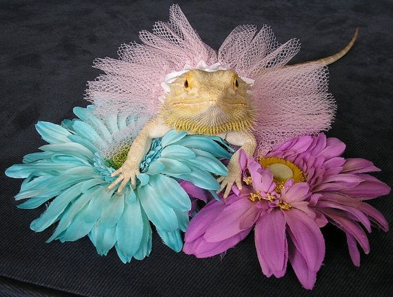 Adorable Handmade Tutus for your Bearded by PamperedBeardies