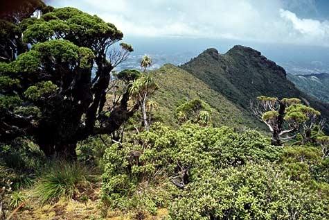 coromandel trees