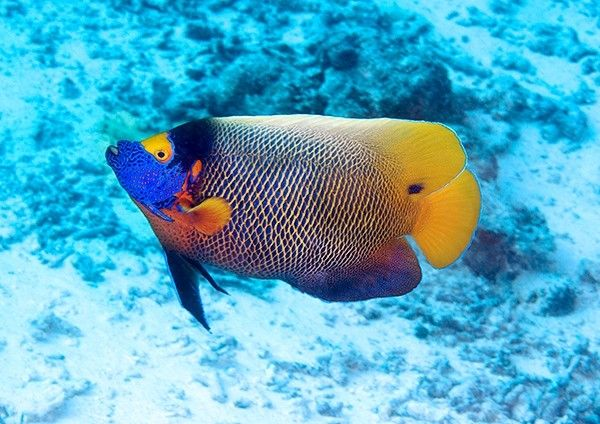 Blueface Angelfish In The Deep Blue Tropical Fish Pictures Angel Fish Tropical Fish