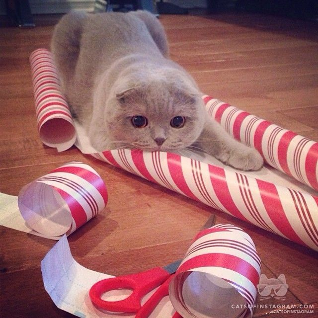 PetsLady's Pick: Cute Christmas Attack Cat Of The Day  ... see more at PetsLady.com ... The FUN site for Animal Lovers