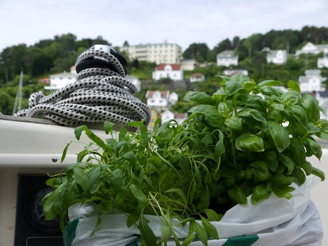 Rucola and basilica growing on board