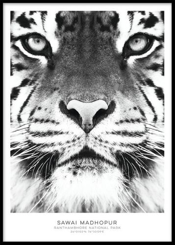 Fotokonst, Tiger poster. Tavla med tiger. poster med svartvit tiger som passar fint själv i en snygg ram eller som del i en tavelvägg.