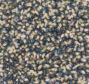 Miniature Blue Popcorn Seeds + FREE Bonus 6 Variety Seed Pack - a $30 Value!