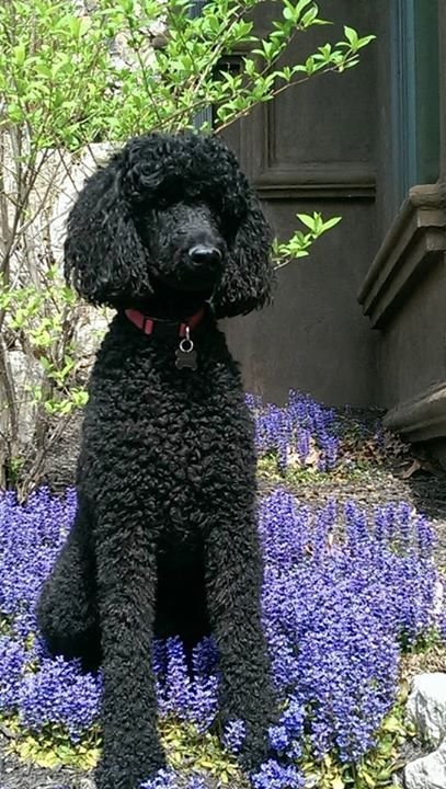 "The Poodle Patch — ""Helping"" mom with the gardening Submitted by..."