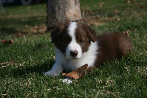 Border Collie puppy for sale in RIO VISTA, CA. ADN-49592 on PuppyFinder.com Gender: Male. Age: 6 Weeks Old
