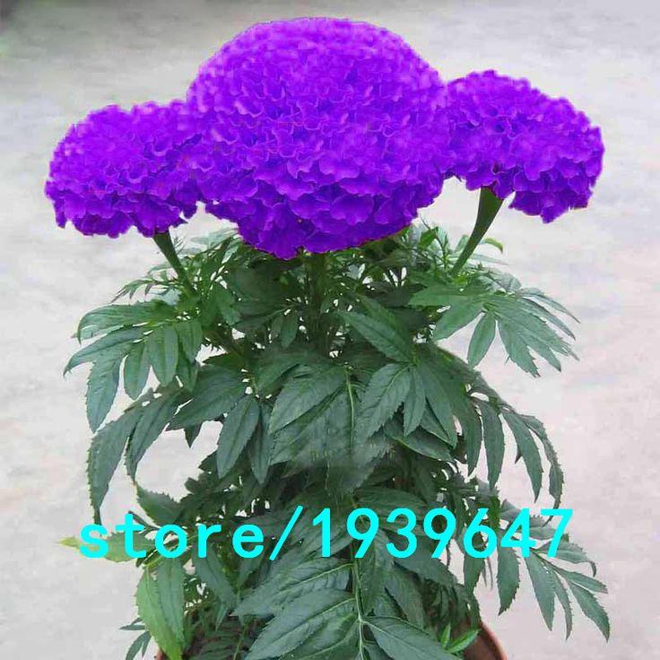 Súper ventas Rare púrpura culantrillo semillas de flores semillas en macetas de hierbas jardín Marigold semillas de bonsái crisantemo 100 unids