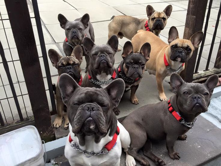 French Bulldog Party!