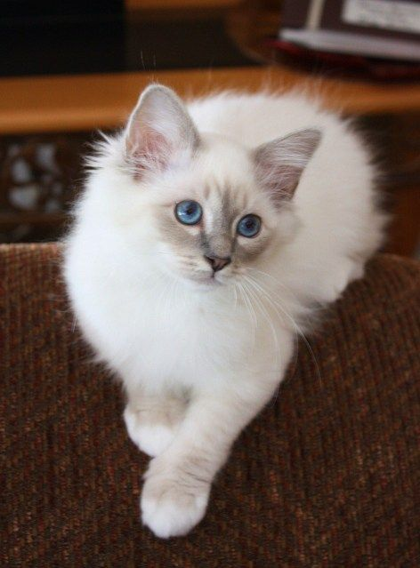 birman- must have colorpoints, blue eyes, and white socks. this is a lynx-point birman