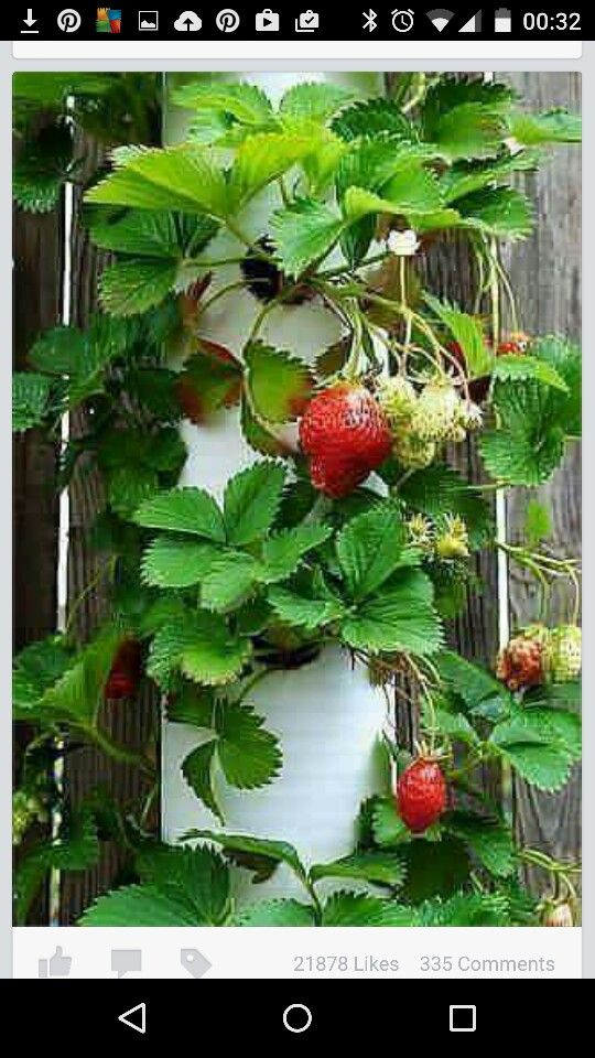 how to grow the best strawberries
