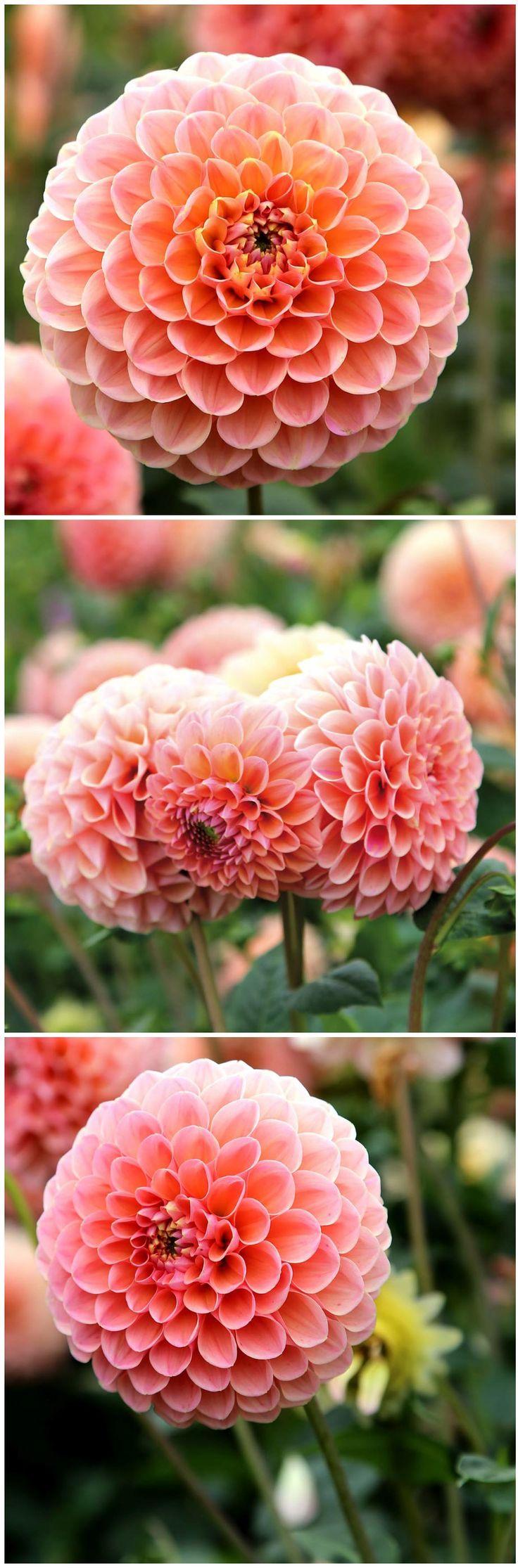 Wunderschöne #Blüten in zarten Pastell-Tönen hat DIE Neuheit 2018: Ball #Dahlie 'Princess Fellinia'. Gefunden auf www.tom-garten.de. #garten #blumen #blumenzwiebel