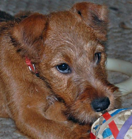 baby irish terrier