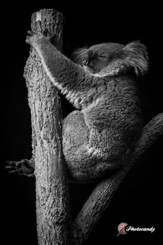Koala - taken at Taronga Zoo this weekend, this little fella was taking a snooze at the top of the largest tree.