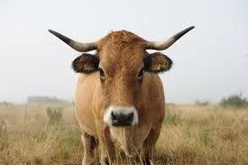 vache aubrac pr projet peinture