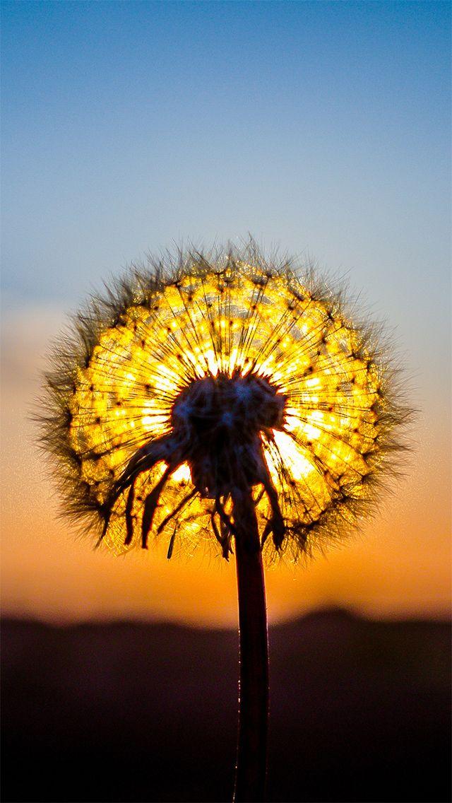 Dandelion in the sunset iphone 5 retina wallpaper - Dandelion hd wallpapers 1080p ...
