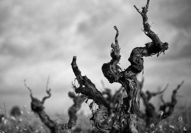 Vinyes velles by Oleguer Subirats on 500px