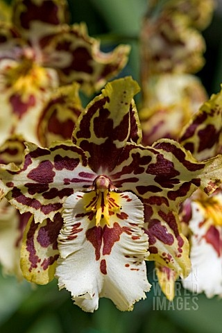 ONCIDIUM ORCHID that will be used.  They are on a long flowing stem with lots of tiny blooms and will be perfect as part of the archway decor.  They come in a variety of colors, and I will use the dark wine/plum ones