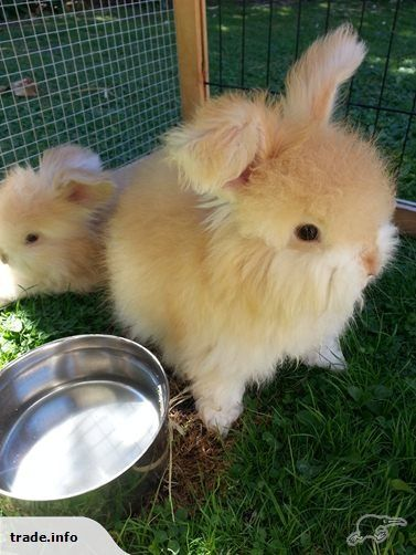 English Angora Baby Bunnies | Trade Me