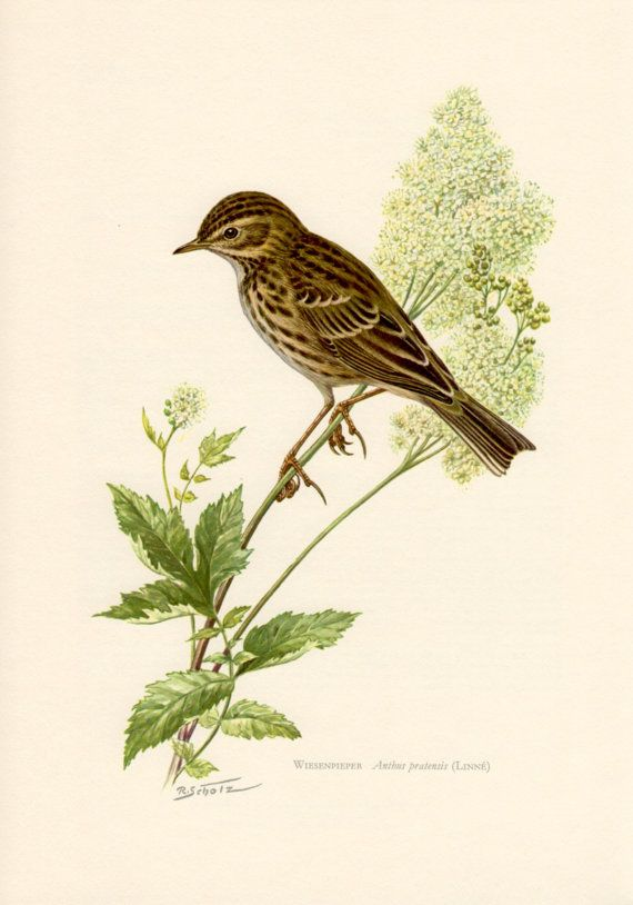 1959 Meadow Pipit Antique Print Vintage Lithograph by Craftissimo, €12.95