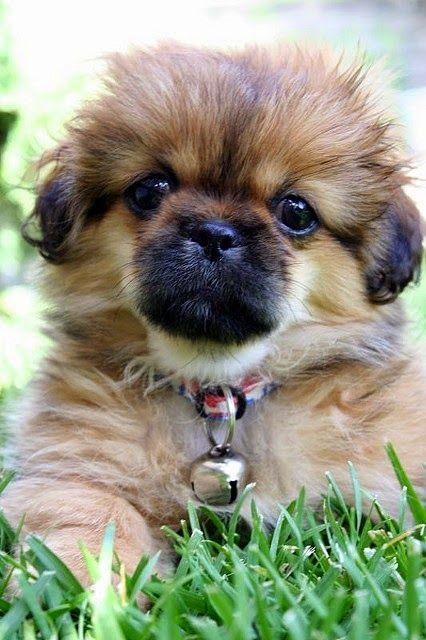 #1 TIBETAN SPANIEL ---The 5 Dog Breeds That Enjoy Cuddling The Most