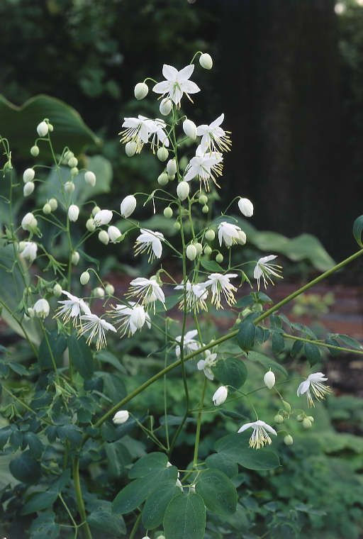 58 best perennial perfection images on pinterest for Thalictrum rochebrunianum rhs