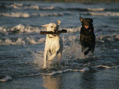 @Arion_ES Queréis conocer mejor al #Labrador #Retriever?
