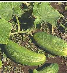 When a cucumber is taken from the vine let it be cut with a knife, leaving about an eighth of an inch of the cucumber on the stem, then slit the stem with the knife from its end to the vine leaving a small portion of the cucumber on each division and on each separate slip there will be a new cucumber as large as the first.: Green Thumb, Cucumber Cucumi, Vines Leaves, Vegetables Gardens, Gardens Vegetables, Small Portion, Separates Slip, Veggies Gardens, Gardens Growing