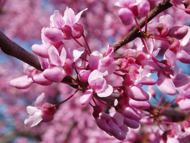 Cercis canadensis eastern redbud is a gorgeous for Small trees suitable for small gardens