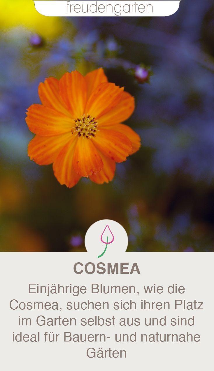 Cosmea Im Garten Schmuckkorbchen Richtig Pflanzen Und Pflegen Pflanzen Garten Naturnaher Garten