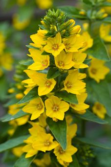 This lysimachia is perfect for any dark, damp or 'problem' areas in your garden. It's a tough,yet beautiful plant with golden yellow blooms and golden edged leaves.