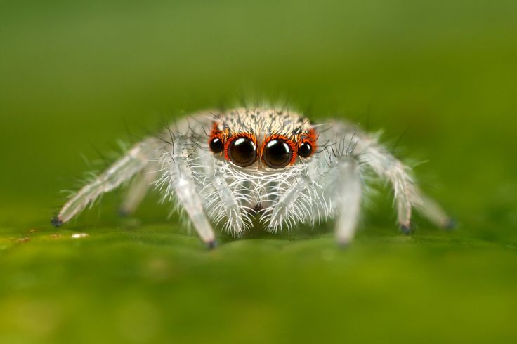 jumping spider cute!!