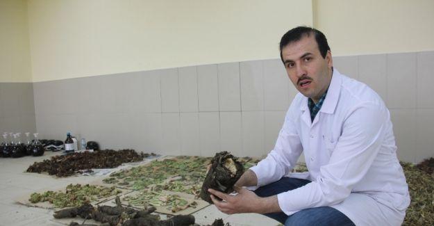 Işkın bitkisinin doku, organ ve hücre hasarlarını onardığı tespit edildi
