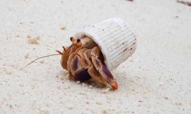 """The hermit crab forced to live in a toothpaste cap: Heartbreaking image shows the harsh reality of Earth's plastic pollution."""