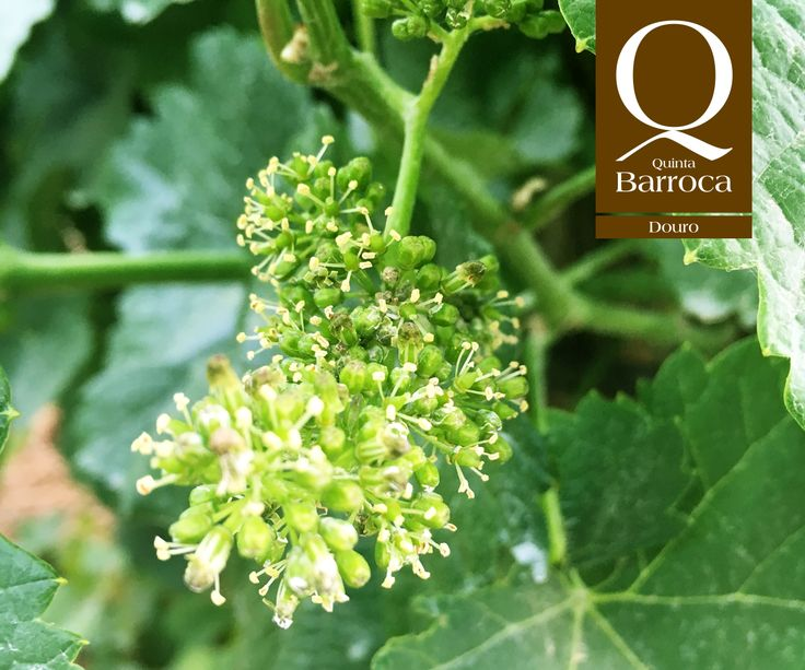 As uvas crescem ao toque da natureza.  #QuintadaBarroca #Uvas #Grape #DouroValley #Agroturismo #Vinhas #Wineyards #Winelover #IloveDouro #Wine
