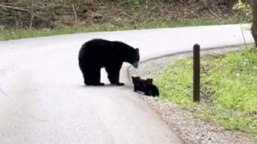 Mama Bär lockt vier entzückende Jungen auf der anderen Straßenseite in die Smoky Mountains   – Beautiful Wildlife