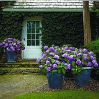 Endless Summer Bloomstruck Hydrangea   NatureHills.com