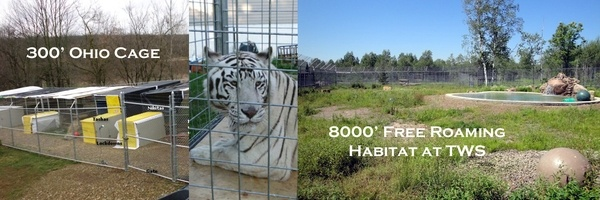 Nikita, the Ohio tigress, will go from having only 300 to well over 8000 at her new home at The Wildcat Sanctuary.  She and Tasha are the first exotic animals being displaced by pending tougher legislation in Ohio after the Zanesville massacre.  For their story, go to www.wildcatsanctu...: 8000, 300, Zanesville Massacre, New Homes, Ohio Tigress, Wildcat Sanctuary, Pending Tougher, Exotic Animals