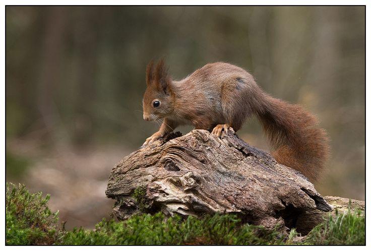 Red Squirrel - de eekhoorn, rode eekhoorn of gewone eekhoorn (Sciurus vulgaris) is de in Europa meest voorkomende eekhoorn.
