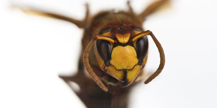 A vespa gigante asiática, também conhecida como vespa mandarina, é conhecida por ser implacável com abelhas, outras vespas menores e louva—a-deus. Curiosamente, ela se parece com uma abelha, só que muito grande. Ao se aproximar do ninho, libera um feromônio para comunicar a outras vespas onde está a colmeia. Uma única vespa é capaz de matar e decaptar até 40 abelhas com suas grandes e poderosas mandíbulas. Crédito da imagem: Thinkstock