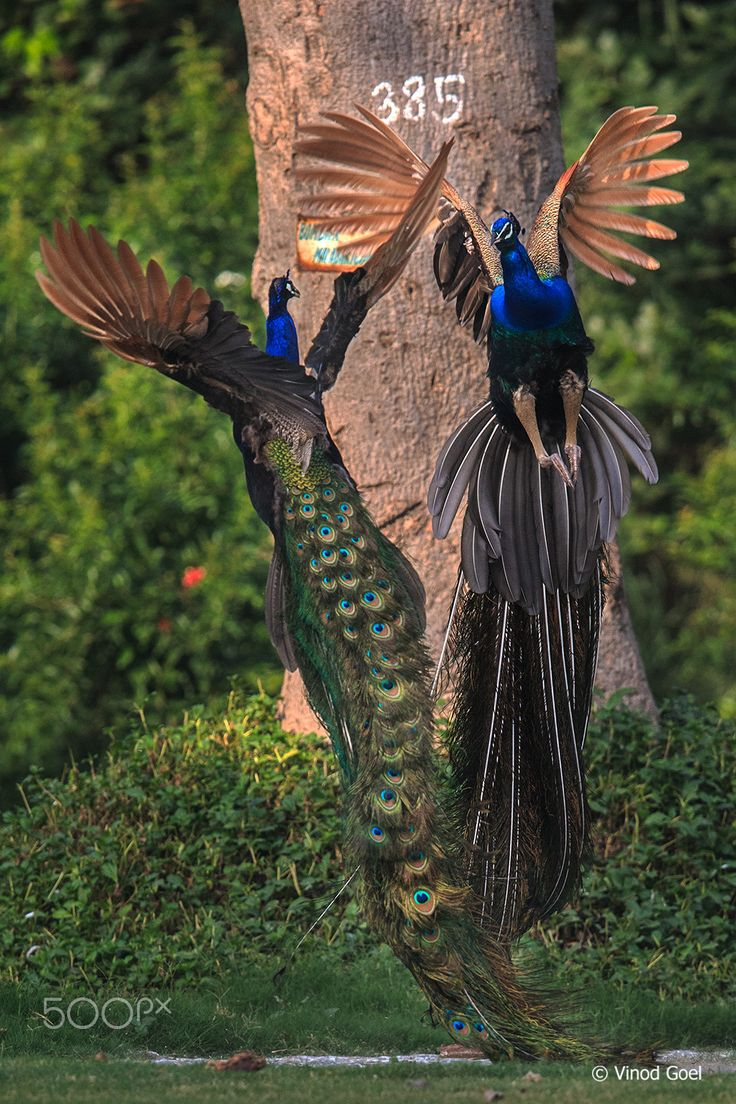 fighting peacocks | bird photography #peafowl