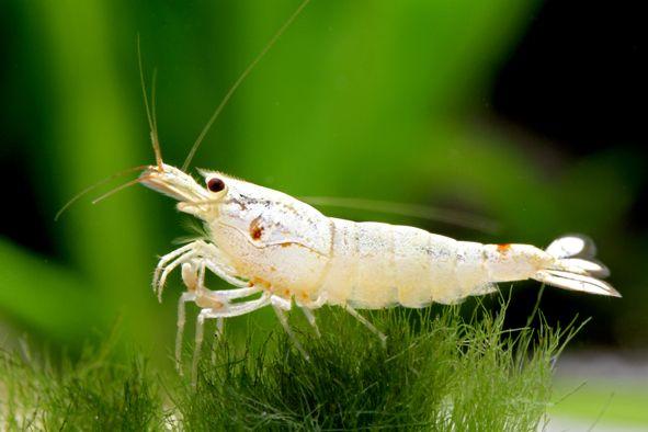 Freshwater Shrimp www.fishkeeper.co.uk #FreshwaterInvert ...Freshwater Shrimp Pet