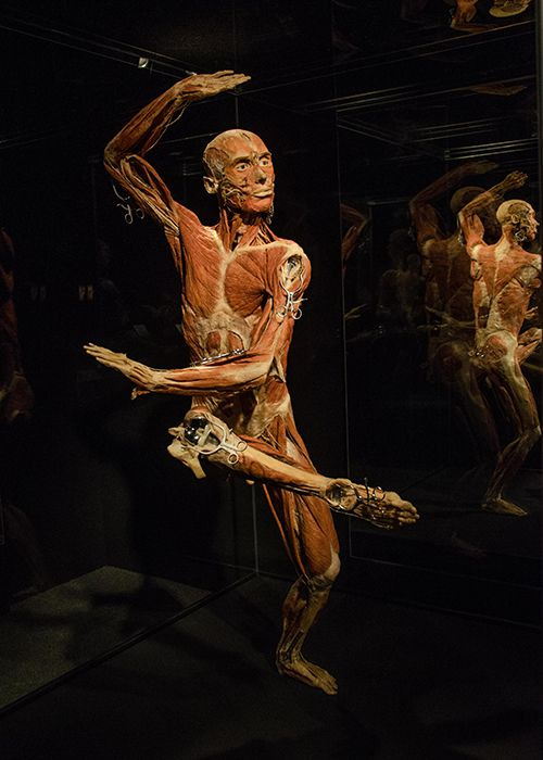 Body Worlds Exhibition NYC : Discovery Times Square