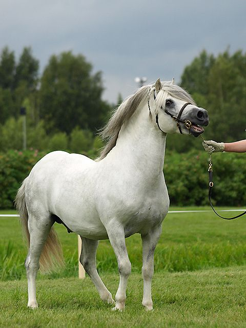 48 best images about welsh mountain ponies on pinterest. Black Bedroom Furniture Sets. Home Design Ideas